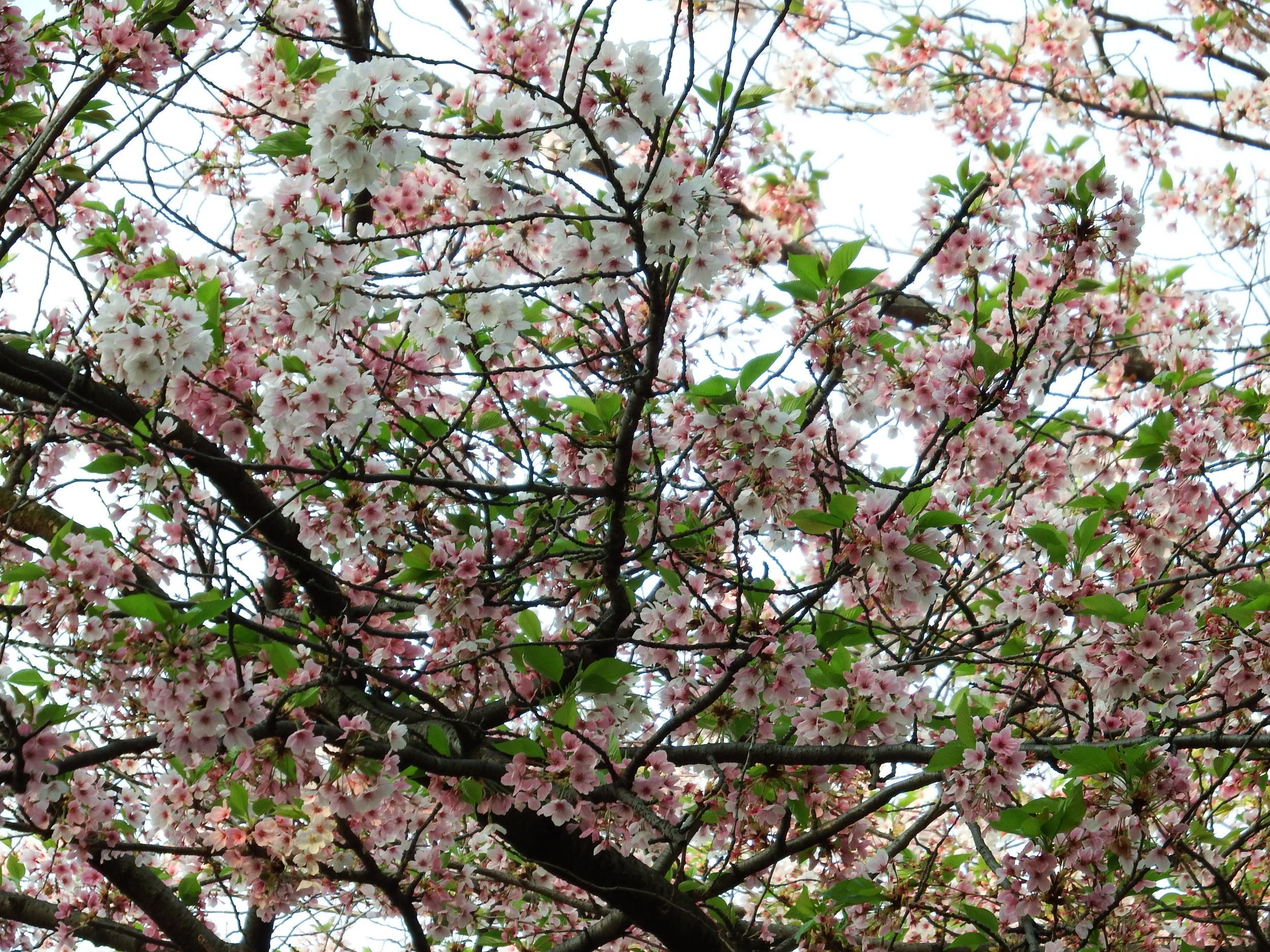 オオルリと葉桜と色んな花 | The fool on the web